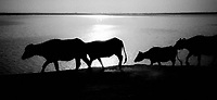 Pakistan, Sehwan Sharif, 2004. Indus River Just south of the town, water buffalo arise from the cool Indus. When rains are good, this mighty river can rise high enough to cover much of the nearby farmland.