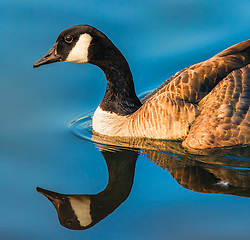 A Goose Swims in blue waters casting a geometric reflection