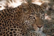 Portrait of a leopard, Panthera pardus.