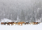 Horses on Triple Creek Ranch, Montana.