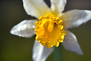 Wild Daffodil, Narcissus pseudonarcissus syn lobularis, UK, Lent Lily, native perennial, yellow white flower, rain water droplets