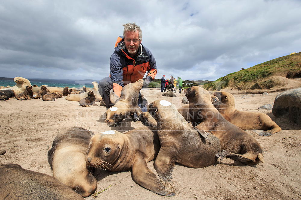 Simon Childerhouse leader of the Blue Planet Marine New Zealand sea lion research programme retrieves a Phocarctos hookeri (New Zealand Sea Lion) pup to be tagged and microchipped at the Sandy Bay colony, Enderby Island, Auckland Islands, New Zealand. Tagging enables scientists to keep a track of movements and estimate population numbers.<br /> 14 January 2016<br /> Photograph Richard Robinson © 2016