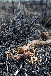 Copperhead snake in grass following controlled burn on the Matthews Prairie, owned by the Native Prairies Association of Texas. Farmersville, Texas, USA.