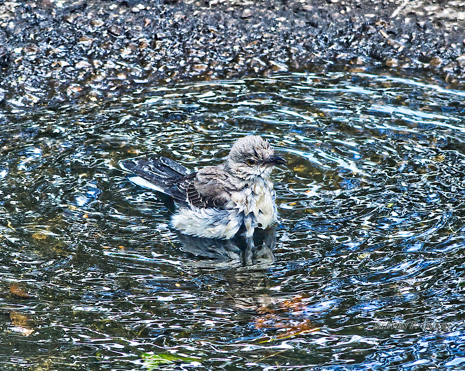 """I captured this image of a Northern Mockingbird in my driveway on June 25th, 2017. I found this Northern Mockingbird bathing in a puddle that formed in my driveway the day before because of a thunderstorm. This day was clear and sunny, which is why there are reflections of the blue sky in ripples of the puddle. My main goal was to capture the details of bird's wet feathers and the ripples it created in the puddle. I also like how the vividly blue sky above is reflecting in the ripples.<br /> <br /> Printed on Hahnemühle Torchon paper. Limited to 300 productions per size.<br /> <br /> Framed prints are available in 20"""" x 16"""" and 30"""" x 24"""" sizes."""
