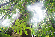 Surui territory: Untouched primary rainforest with huge trees<br /><br />An Amazonian tribal chief Almir Narayamogo, leader of 1350 Surui Indians in Rondônia, near Cacaol, Brazil, with a $100,000 bounty on his head, is fighting for the survival of his people and their forest, and using the world's modern hi-tech tools; computers, smartphones, Google Earth and digital forestry surveillance. So far their fight has been very effective, leading to a most promising and novel result. In 2013, Almir Narayamogo, led his people to be the first and unique indigenous tribe in the world to manage their own REDD+ carbon project and sell carbon credits to the industrial world. By marketing the CO2 capacity of 250 000 hectares of their virgin forest, the forty year old Surui, has ensured the preservation, as well as a future of his community. <br /><br />In 2009, the four clans and 25 Surui villages voted in favour of a total moratorium on logging and the carbon credits project. <br /><br />They still face deforestation problems, such as illegal logging, and gold mining which causes pollution of their river systems