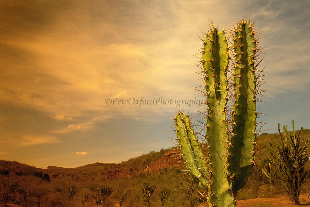 Caatinga Vegetation with Cactus<br />Caatinga Habitat<br />THREATENED HABITAT<br />Bahia State.  BRAZIL  South America