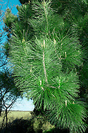 Monterey Pine Pinus radiata (Pinaceae) HEIGHT to 45m <br /> Large, variable pine, slender and conical when growing vigorously, becoming more domed and flat-topped on a long bole with age. BARK Fissured and grey, blackening with age. BRANCHES Main ones sometimes hang low enough to touch ground. LEAVES Bright-green needles in bunches of 3; each needle is thin and straight, to 15cm long, with a finely toothed margin and harp-pointed tip. REPRODUCTIVE PARTS Male flowers grow in dense clusters near ends of twigs, releasing pollen in spring. Female cones grow in clusters of 3–5 around tips of shoots, ripening to large, solid woody cones, to 15cm long and 9cm across, with a characteristic asymmetrical shape. Cone scales are thick and woody with rounded outer edges, and conceal black, winged seeds. STATUS AND DISTRIBTUION Native to a small area around Monterey, California, Guadalupe Island and Baja California, Mexico. Widely planted here in mild areas as a shelter-belt tree or for ornament, growing well next to the sea.