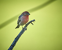 Male House Finch. Image taken with a Nikon D5 camera and 600 mm f/4 VR telephoto lens (ISO 320, 600 mm, f/4, 1/1250 sec).