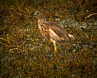 Indian Pond Heron. Bharatpur-- Keoladeo Ghana National Park, Rajasthan, India. Image taken with a Nikon 1 V3 camera and 70-300 mm VR lens.