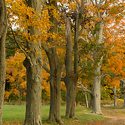Row of old trees in fall color on a farm