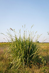 Eastern gamagrass on the Daphne Prairie, a remnant of the Blackland Prairie, Mount Vernon, Texas, USA.