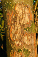 Bark gnawed by Exmoor ponies, one of the oldest and most primitive horse breeds in Europe,   Keent Nature Reserve, The Netherlands