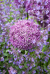 Allium 'Globemaster' growing through Nepeta (catmint) on the border by the South Terrace at Manor Farm House