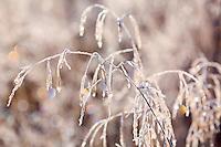 Ice crystals encase grasses in field near Kodiak, Alaska
