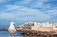 Seagull with the coastal town Essaouira in the background.