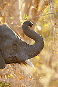 An elephant raises its trunk, Okavango Delta, Botswana
