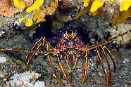 Spiny lobster (Palinuridae)