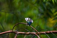 A male White-necked Jacobin (Florisuga mellivora) enjoys a morning rainstorm. Trinidad