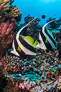A pair of Schooling Bannerfish, Heniochus diphreutes, swims in Tiputa Pass, Rangiroa Atoll, French Polynesia