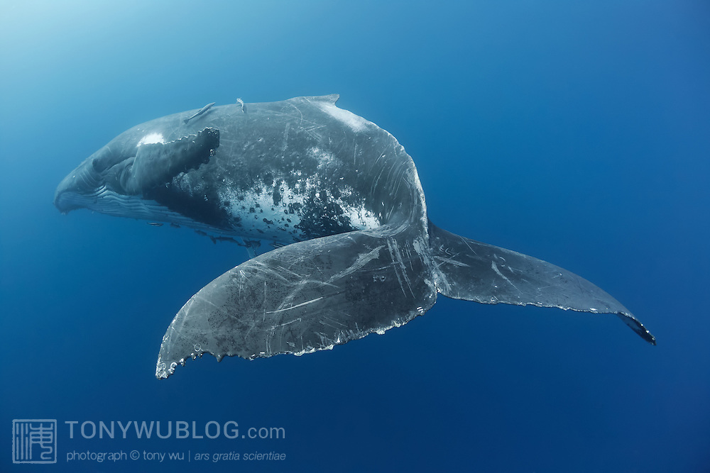 A singing humpback whale resting at a depth of about 15 meters in the waters of Vava'u, Kingdom of Tonga
