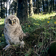Great Gray Owl, (Strix nebulosa)  Fledgling out of nest. Montana.