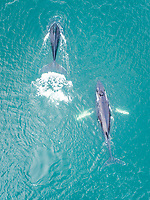 Aerial view of two whales swimming at the surface of Dutch harbor in Alaska.