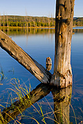 Lodgepole Pine in Lake, Yellowstone National Park, Wyoming