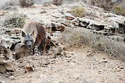 Brown hyena (Parahyaena brunnea oder Hyaena brunnea) adult outside their den, Tsau-ǁKhaeb-(Sperrgebiet)-Nationalpark, Namibia | Schabrackenhyäne (Parahyaena brunnea oder Hyaena brunnea), kurz nach Sonnenuntergang kommt die Mutter (Alaika) zu ihrem Bau und untersucht jede Veränderung des Tages. Erst wenn alles in Ordnung ist ruft sie die Jungtiere aus dem Bau. Sperrgebiet National Park, Namibia