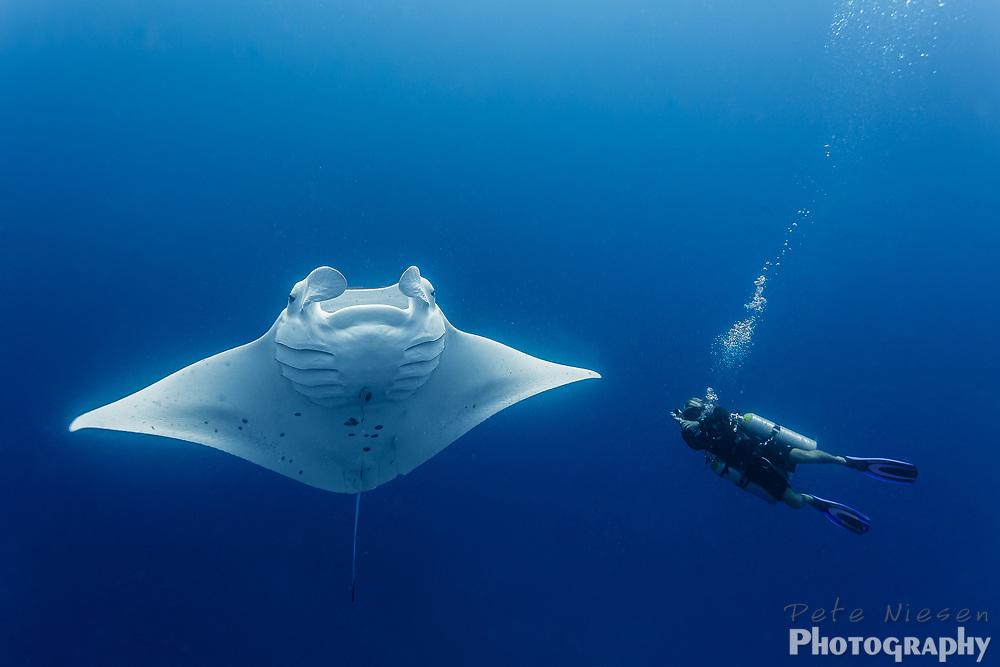 Huge manta ray, Manta alfredi, shows a masive wingspan next to diver in blue water