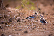 Eurasian jay (Garrulus glandarius) giving flight lessons to a Fledgling on the ground outside of the nest. Photographed in Israel in May