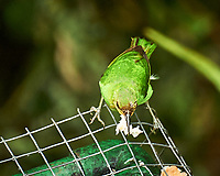 Female Green Honeycreeper (Chlorophanes spiza). Asa Wright Nature Centre, Trinidad, Image taken with a Nikon D3s camera and 70-300 mm VR lens.