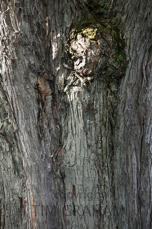 Close up detail of bark on ancient old gnarled tree trunk in Vermont, USA