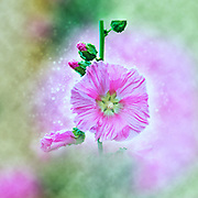 Digitally enhanced image of a Common Hollyhock (Alcea rosea) Photographed in Israel in May