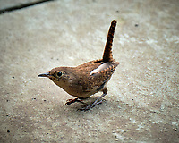House Wren. Image taken with a Fuji X-T2 camera and 100-400 mm OIS telephoto zoom lens.