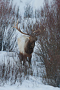 Bull elk number 10 on winter range in Yellowstone National Park