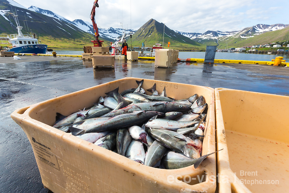 Fresh Atlantic pollock or saithe (Pollachius virens) just in from the sea, with fishing boat and wharf in the background. Siglufjordur, Iceland. July.