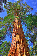 Giant Sequoias (Sequoiadendron giganteum), Trail of 100 Giants, Giant Sequoia National Monument, California