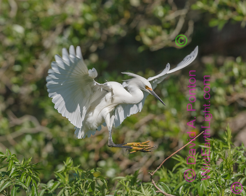Snowy egret flares its wings to slow for landing, © David A. Ponton