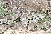 Kenya, African rock python, Python sebae