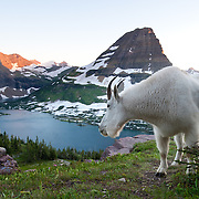 glacier national park billy goat looking down onto hidden lake