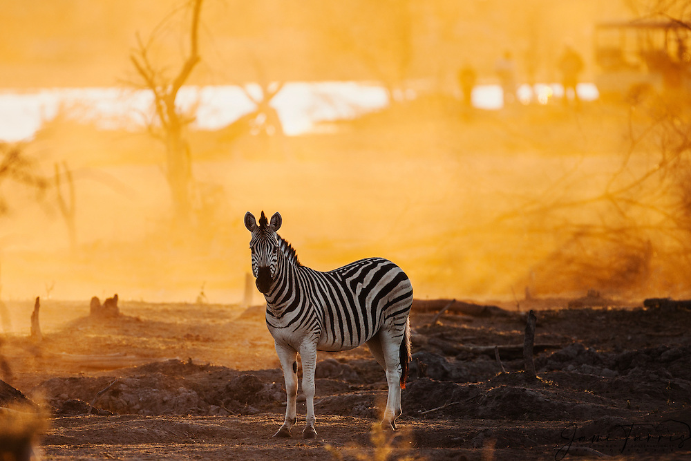 A backlit Burchell's zebra (Equus quagga) standing motionless,tourists watching from behind,sunset, Botswana, Africa