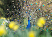London News pictures. 25/03/11.  A peacock hides amongst the spring flowers before showing off its colourful tail display in the spring sunshine in Kew Gardens West London Today (Fri). Picture Credit should read Stephen Simpson/LNP