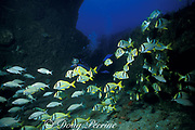 porkfish ( grunts ), Anisotremus virginicus, on wreck of the Mizpah, West Palm Beach, Florida, ( Western Atlantic Ocean )   MR 99