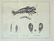 crustaceans collected and described on the voyage. from the book '  A voyage towards the North Pole : undertaken by His Majesty's command, 1773 ' by Constantine John Phipps, Baron Mulgrave, 1744-1792; The 1773 Phipps expedition towards the North Pole was a British Royal Navy expedition in which two ships under the commands of Constantine John Phipps as Captain of the HMS Racehorse [an 18-gun ship-rigged sloop of the Royal Navy.] and Skeffington Lutwidge as Captain of the HMS Carcass [a bomb vessel of the Royal Navy], sailed towards the North Pole in the summer of 1773 and became stuck in ice near Svalbard. A young Horatio Nelson. was a midshipmen onboard the ' Carcass ' on this expedition