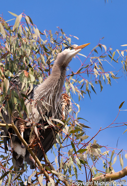 A Great Blue Heron on watch after landing in the Eucalyptus tree.
