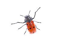 Clytra sp. beetle, Huelva, Andalucia, Spain