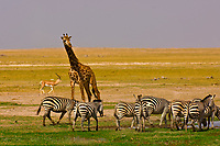 A herd of zebra with a Juvenile Masai Giraffe behind, Amboseli National Park, Kenya