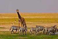 A herd of zebra with a Juvenile Masai Giraffe behind, Amboseli National Park, Kenya
