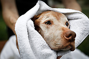 SHOT 8/5/18 2:58:32 PM - Tanner, a 13 year-old male Vizsla, gets dried off after a bath in the front yard with his mom Margaret Ebeling of Madison, Wis. at Tanner's home in Denver, Co. Vizslas are natural hunters endowed with an excellent nose and an outstanding trainability. Although they are lively, gentle-mannered, demonstrably affectionate and sensitive, they are also fearless and posses a well-developed protective instinct. (Photo by Marc Piscotty / © 2018)