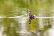 Red-necked Phalarope : Phalaropus lobatus, Photo by Davis Ulands | davisulands.com